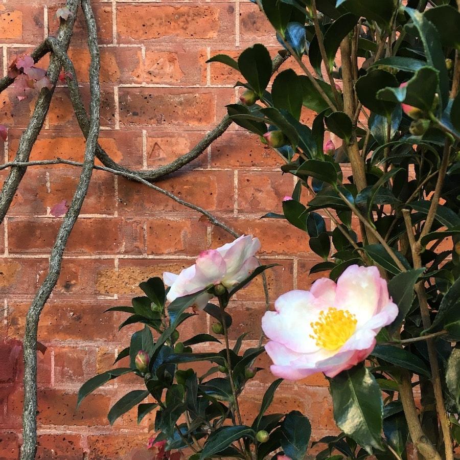 Camélia en fleurs © Kevin Clare paysagiste