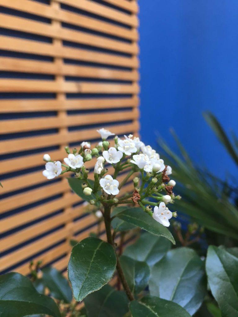 La Viorne est une fleur blanche utilisée dans le Patio Majorelle.
